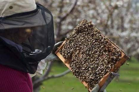 Beekeepers fighting colony collapses | Sustain Our Earth | Scoop.it