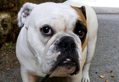 Tierärzte: Stoppt die Werbung mit Mops & Co | ʕ·͡ᴥ·ʔ Welpenkauf Informationen | Scoop.it