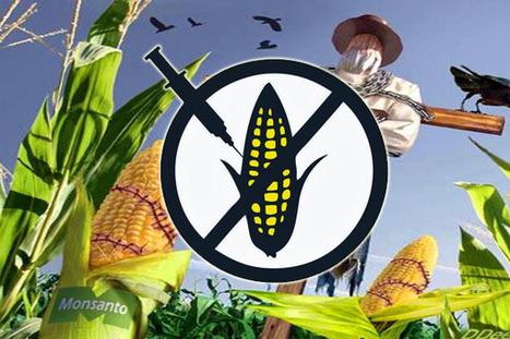 México suspende la siembra de maíz transgénico | Autosostenibilidad en el mundo | Scoop.it