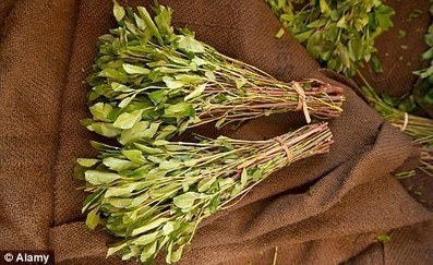The Khat Ban: A failed solution to a non-existent problem | Beckley News : Drugs | Scoop.it