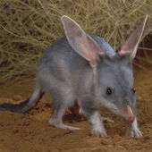 Meet Australia's Easter Bunny: the Long-Eared Greater Bilby - Scientific American (blog) | Professional development of Librarians | Scoop.it