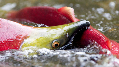 Household chemicals may be harming B.C. salmon: inquiry - CTV News | Food issues | Scoop.it