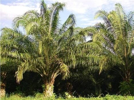 Scientific Discovery Could Help Protect Ecosystems From African Palm Oil Boom - The Costa Rica Star | Say No To Palm Oil | Scoop.it