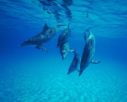 10 life-saving animals: Dolphin | Animals Make Life Better | Scoop.it