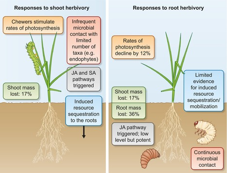Roots under attack: contrasting plant responses to below- and aboveground insect herbivory - Johnson - 2016 - New Phytologist - Wiley Online Library | Plant Pathology | Scoop.it