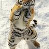 gangnam style tiger