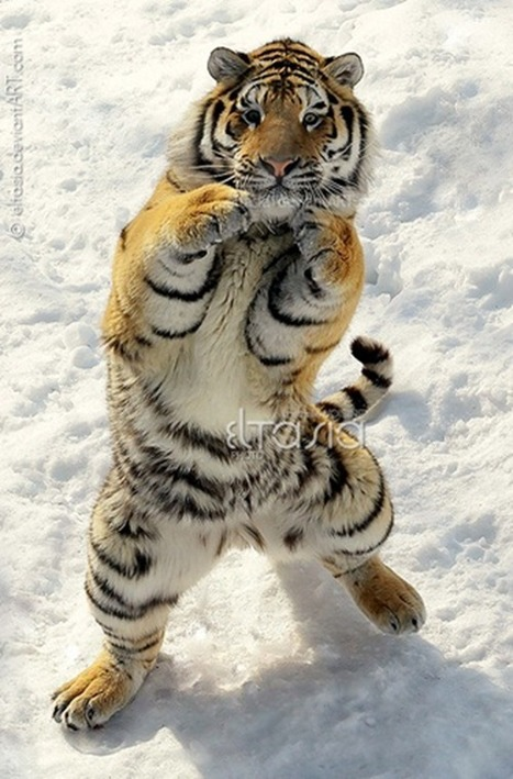 30 Awesome Photographs Of Tiger | gangnam style tiger | Scoop.it