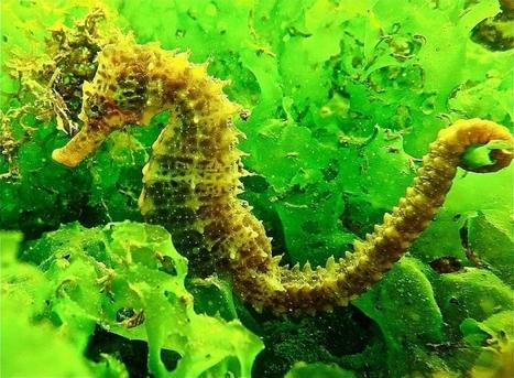 L'étang de Thau, jardin d'Eden des hippocampes | Biodiversité & Relations Homme - Nature - Environnement : Un Scoop.it du Muséum de Toulouse | Scoop.it