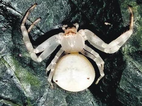 New spider takes new State's name - Telangana crab spider | Actu & Voyage en Inde | Scoop.it
