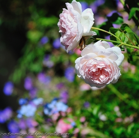 A Rose is a Rose...: Fall is in the Air | Grown Green Gardens | Scoop.it