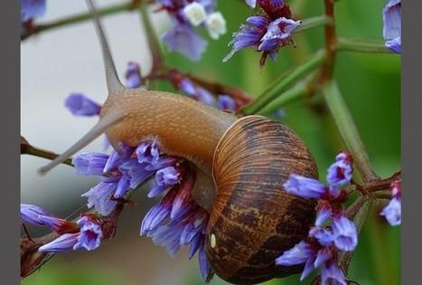 Garden Snail, Helix aspersa - RedOrbit | Heliculture | Scoop.it