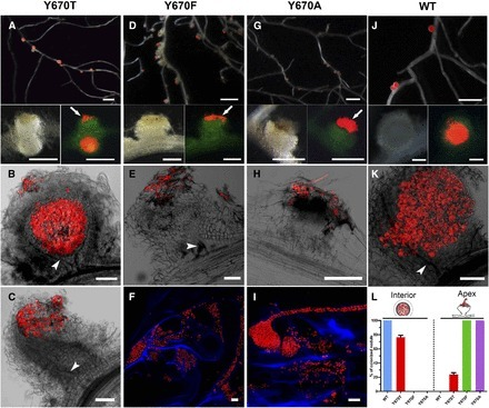 Gatekeeper Tyrosine Phosphorylation of SYMRK Is Essential for Synchronizing the Epidermal and Cortical Responses in Root Nodule Symbiosis | Plant-Microbe Interaction | Scoop.it