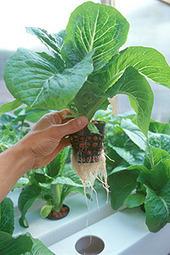 Hidroponía | Cultivos Hidropónicos | Scoop.it