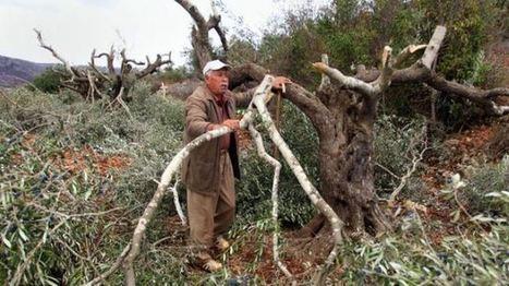 Israeli settlers destroy Palestinian olive farms in Nablus - Press TV   Palestine   Scoop.it