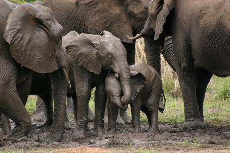 Why We Should Really Save Africa's Elephants | Wildlife Trafficking: Who Does it? Allows it? | Scoop.it