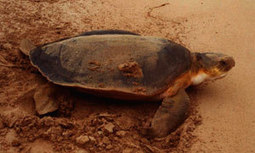 Sea Turtle Information from World Turtle Trust | HSIE Stage 3- Great Barrier Reef Case Study (Environments) | Scoop.it