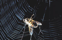 How electricity helps spider webs snatch prey but also pollutants | Amazing Science | Scoop.it
