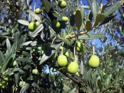 La sostenibilità ambientale va coltivata, anche nell'oliveto   OLIVE NEWS   Scoop.it