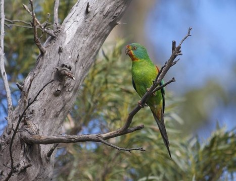 Tasmania's swift parrot set to follow the dodo | Farming, Forests, Water & Fishing (No Petroleum Added) | Scoop.it