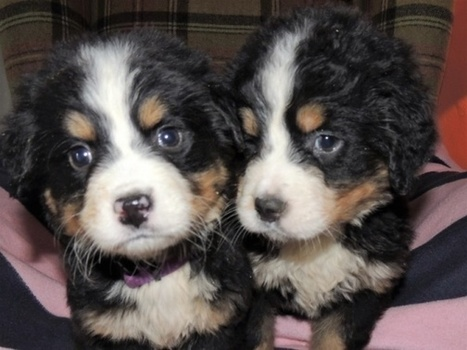 Bernese Mountain Dog Puppies | postzoo.com | Scoop.it