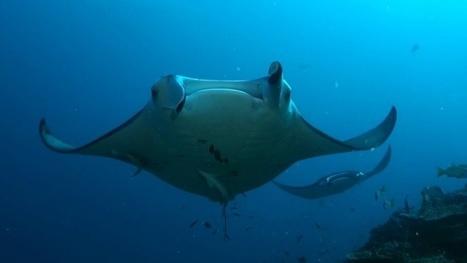 Vidéo Full HD | Plongée en croisière aux Maldives ! | Plongeurs.TV | Scoop.it