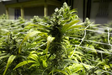 Marijuana trade could create billion-dollar potential for cash-strapped states (USA) | Alcohol & other drug issues in the media | Scoop.it
