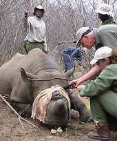 Tourism - the missing link in the rhino poaching debate - eTurboNews.com | Kruger & African Wildlife | Scoop.it
