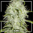 Buy feminized marijuana seeds and cannabis seeds from Amsterdam - high quality marijuana seeds (cannabis seeds) | Hanfsamen | Scoop.it