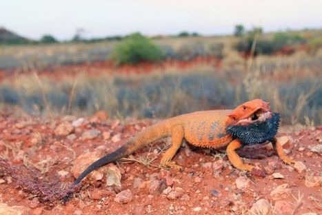 Dragons Colour Study Could Fuel Breakthroughs | Biomimicry | Scoop.it
