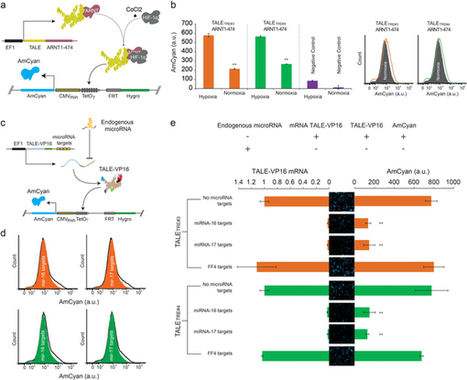 Transcription activator-like effector hybrids for conditional control and rewiring of chromosomal transgene expression : Scientific Reports : Nature Publishing Group | Assorted science | Scoop.it