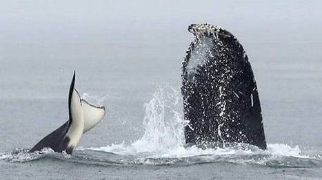 Whale watchers spot battle between orcas, humpbacks near Vancouver Island | Orca Whales in the Wild | Scoop.it