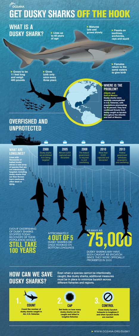 Dusky Sharks | Oceans and Wildlife | Scoop.it