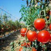 Gastronomie: Où est passé le goût de la tomate ? | MILLESIMES 62 : blog de Sandrine et Stéphane SAVORGNAN | Scoop.it