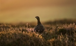 Shooting industry must stop putting strain on countryside, says RSPB chief | GarryRogers NatCon News | Scoop.it