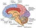 Xanax, Lexomil, Lysanxia, Valium, lorazépam, Myolastan, ces médicaments qui rétrécissent le cerveau | Naturopathie et santé naturelle | Scoop.it