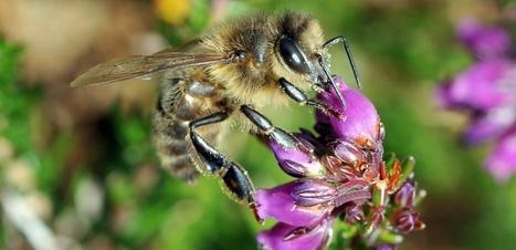 L'Abeille noire, insecte de l'ouest européen menacé par l'importation de ses congénères | Environnement et développement durable | Scoop.it