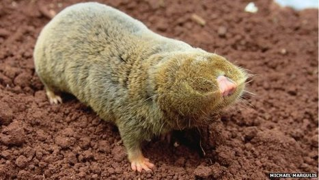 Cancer-resistant blind mole rat gets its genome sequenced | Amazing Science | Scoop.it