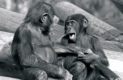 Bodies in Sync | Contagious laughter, yawns, and moods offer insight into empathy's origins. | Animals R Us | Scoop.it