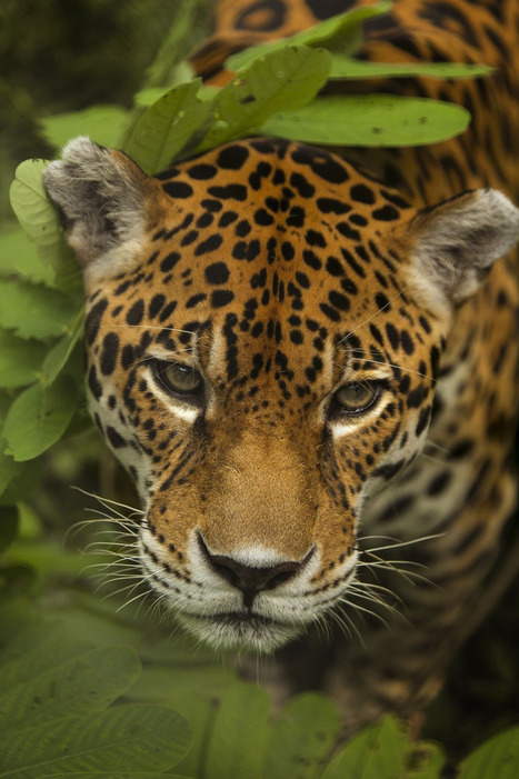 Virtual reality is helping scientists to protect endangered jaguars | cool stuff from research | Scoop.it