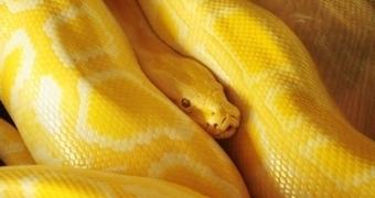 Giant python snake opens door! | News & Politics | Scoop.it