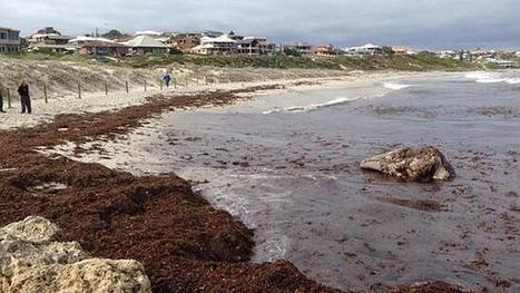 #Sorrento #Beach #closed after #whale's head washes up, prompts shark fears - Perth Now | REAL ESTATE & OTHER NEWS | Scoop.it