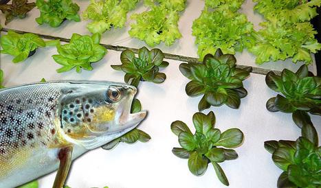 Ce couple fait pousser des salades bio à l'aide de truites | Economie Responsable et Consommation Collaborative | Scoop.it