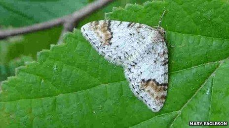 Un papillon rare découvert en Écosse [en anglais] | EntomoNews | Scoop.it