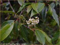 ::: BIBLIOTECA ::: | Capulín  (Prunus serotina esp.capuli) | Scoop.it