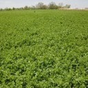 "California Alfalfa: Yield, Quality Reduction from ""Summer Slump"" 