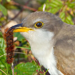 Where Have All the Cuckoos Gone?   GarryRogers NatCon News   Scoop.it