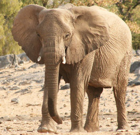 Why Is Namibia Killing Its Rare Desert Elephants? | Extinction Countdown, Scientific American Blog Network | Sustain Our Earth | Scoop.it