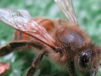 Vaginal gel loaded with bee venom may destroy HIV | Virology News | Scoop.it