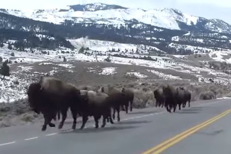 Turns Out, a Video of Bison Purportedly Fleeing Yellowstone Is a Hoax - Daily Beast   Reality Bytes   Scoop.it