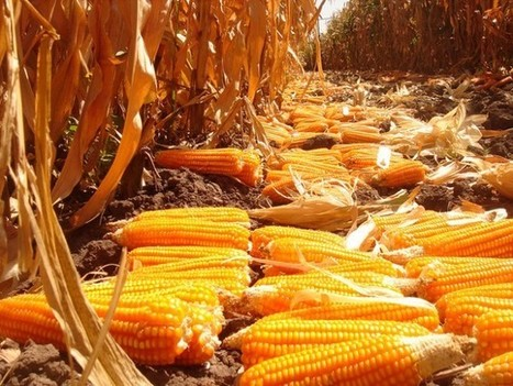 Zambia: West farmers discover 'gold' in orange maize | MAIZE | Scoop.it